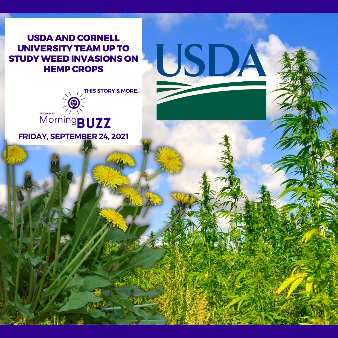 USDA and Cornell University Team Up To Study Weed Invasions On Hemp Crops show art