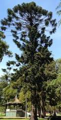 Bunya-Bunya Tree