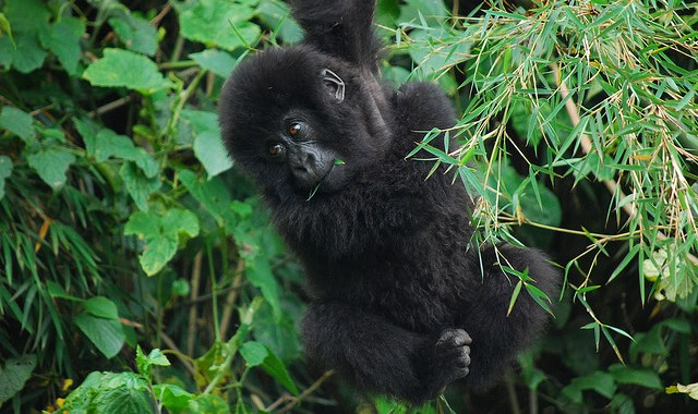 Mountain gorilla genomes and a news roundup