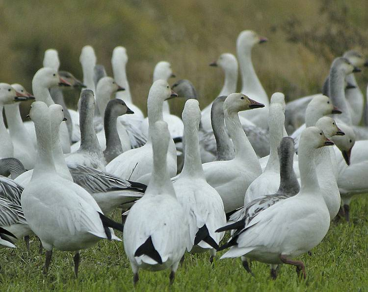 The Snow Geese of the Skagit Flats