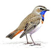 The magnificent Bluethroat of the Arctic