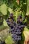 Artwork for Ep 237: The Grape Miniseries - Grenache/Garnacha