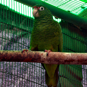 No. 09 Interview in Puerto Rico parrot aviary