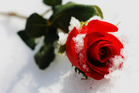 Rose and Snow in February