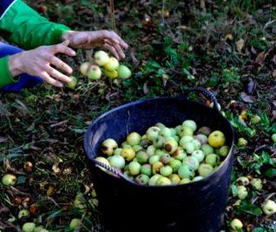 376.-       El ladrón de manzanas