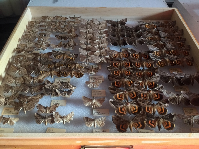 The Noctuidae drawer