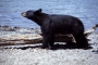 Artwork for Black bears could help us get to Mars