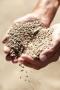 Artwork for Arab Grain Imports Rising Rapidly