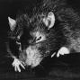 Artwork for Råttor