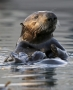 Artwork for #18 Elakha: The Restoration of Sea Otters in Oregon
