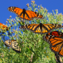 Artwork for Good news from Mexico monarch reserve despite looming threats