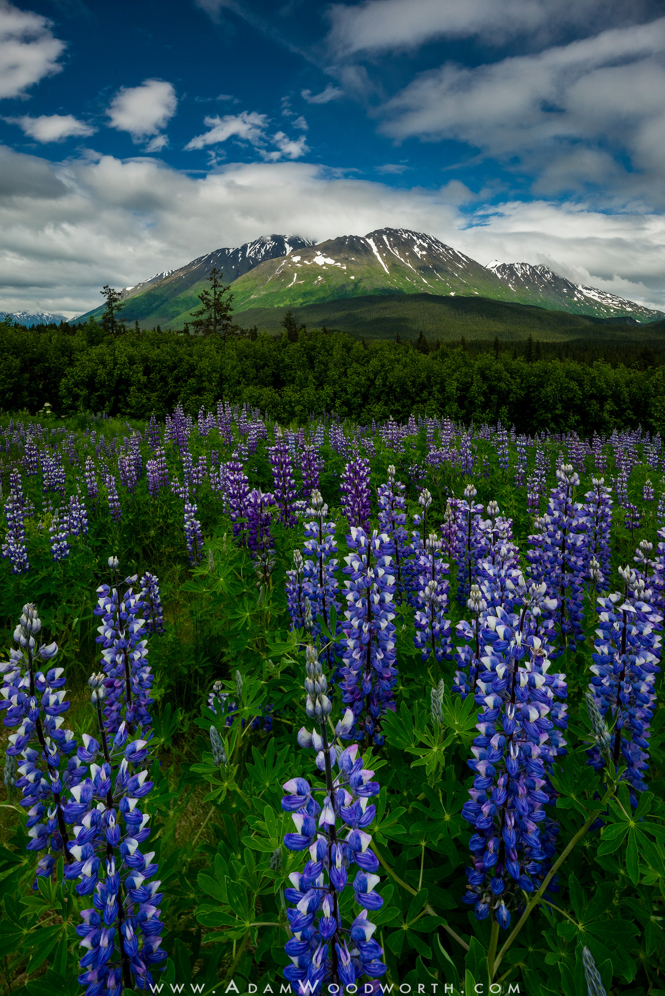 Lupine in the Chugach Mountains