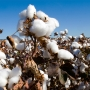 Artwork for Weed Resistance in Cotton: Lessons Learned From the US