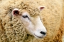 Artwork for Storytime: Ew! The Shabby Sheep by Scott Lemonier