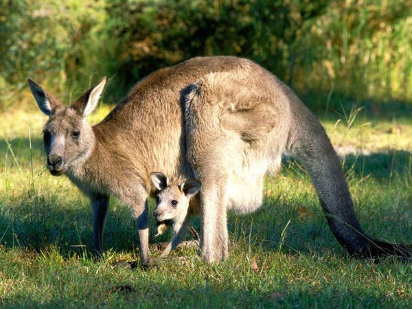 CACP - #326 - Kangaroos Have Three Vaginas?