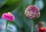 Artwork for How to Deadhead Zinnias In 3 Simple Steps - DIY Garden Minute Ep.208