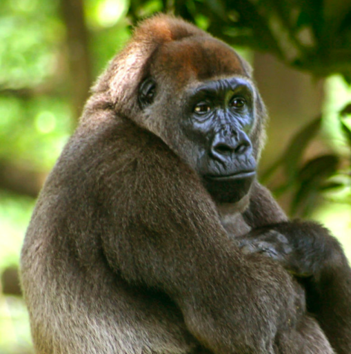 Gorilla Radio: innovation in conservation of super rare great apes