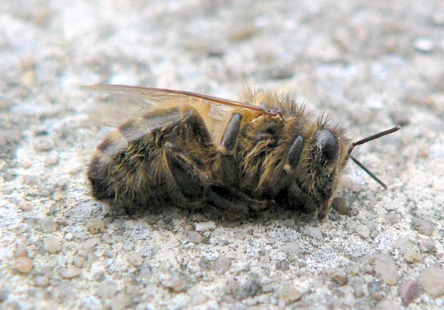 New research shows bee deaths are due to pesticides