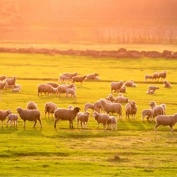 RaboResearch Food & Agribusiness Australia/NZ: NZ Red Meat Mid-Year Outlook (Part 1) – Sheepmeat