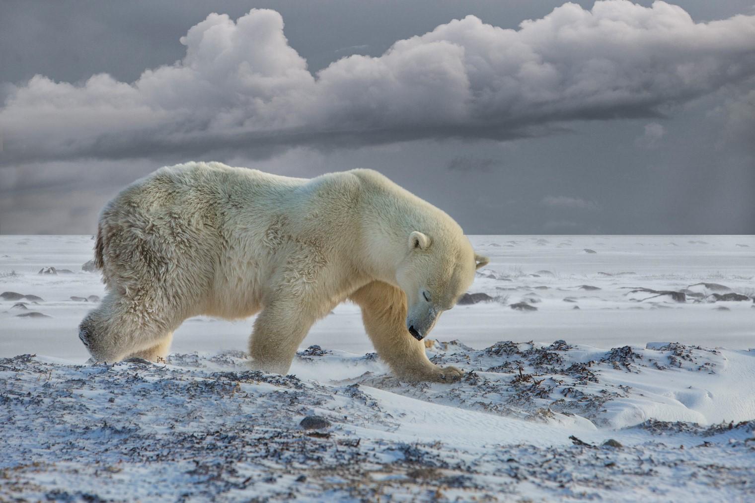 Polar Bear After Topaz AI