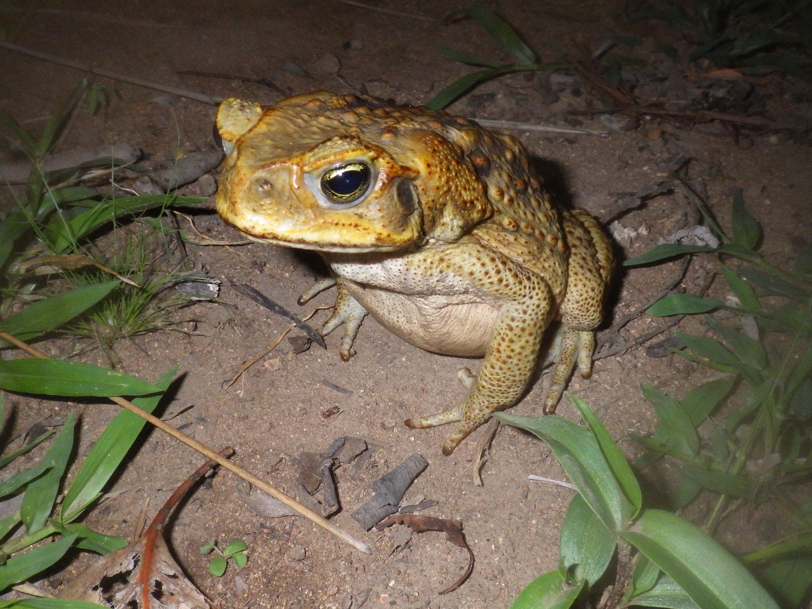 Cane Toad near Queensland, AU