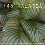 Artwork for 45. Kalatea. Om bruna blad, skötsel och blommor.