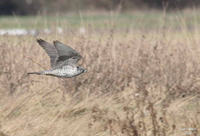 April 2005 - Samish Flats Hawk Identification