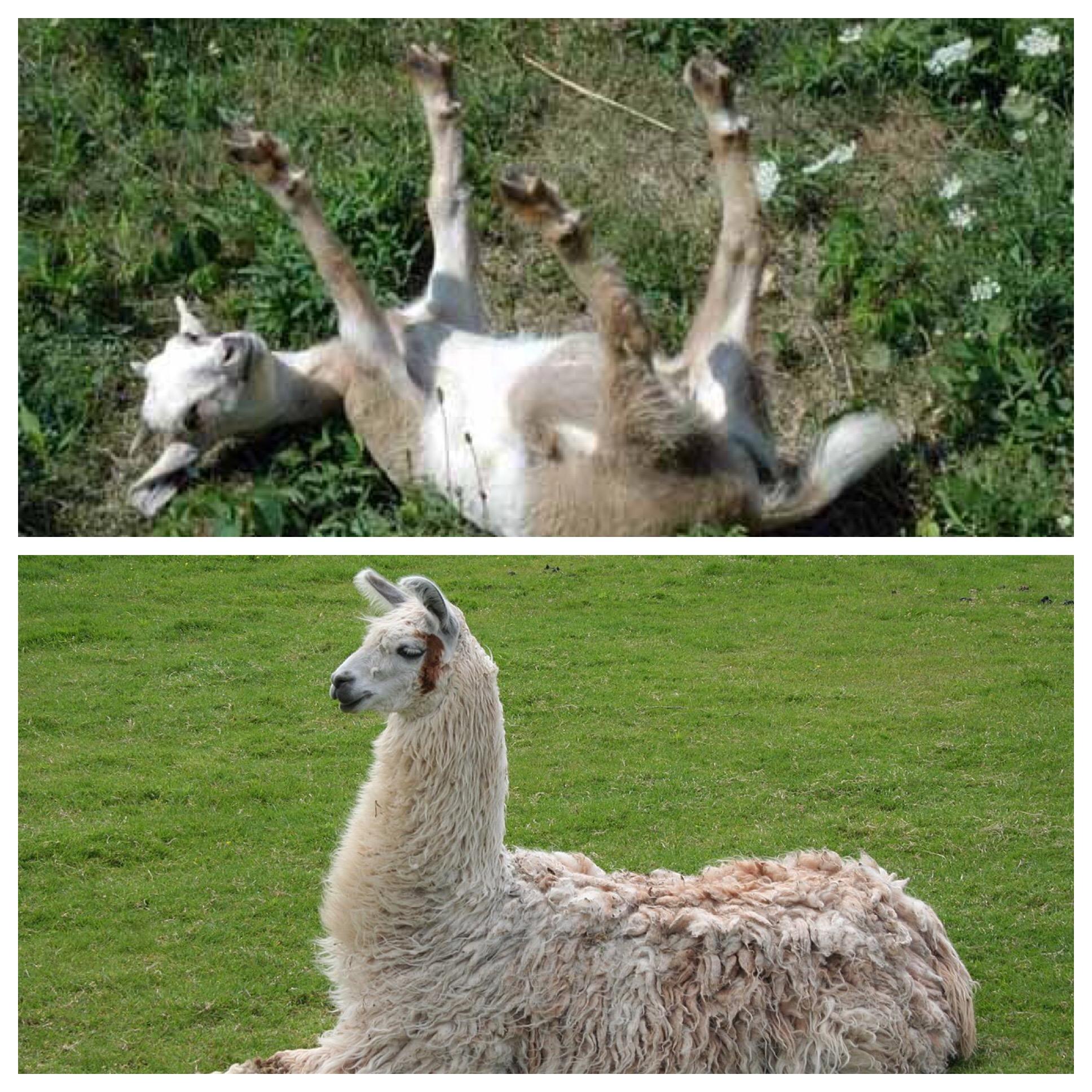 Drunk Safari Big Little Llamas