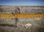 Artwork for Ducks and Pronghorn Bucks - Travis Stauch and Sammy P