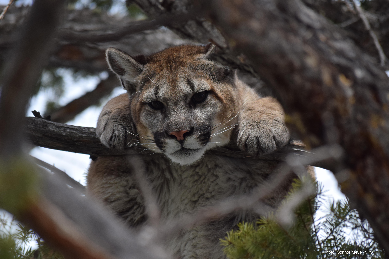 young cougar at yellowstone