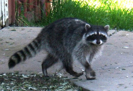 CST #100: The Raccoon Show