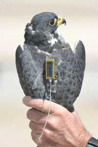 Southern Cross Peregrine Project