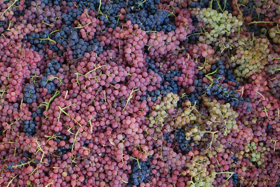 A field blend of grapes from Alegría Vineyards that will eventually become ACORN Winery's Medley, one of their signature field-blend wines. Photo courtesy of ACORN Winery / Alegría Vineyards