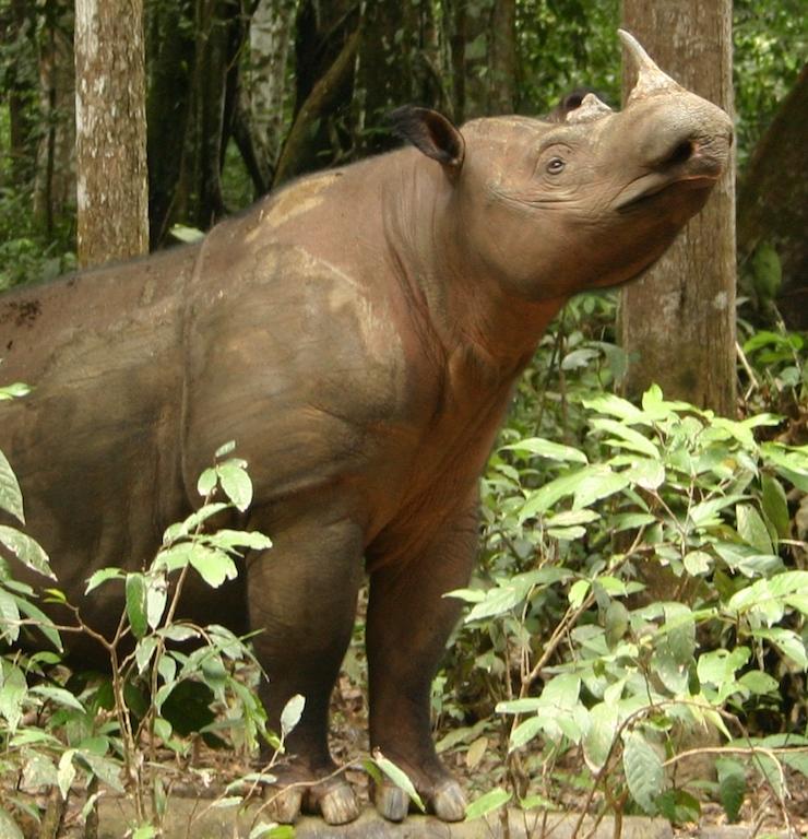 Mongabay Explores Sumatra: where are the rhinos?