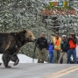 Artwork for National Parks Traveler: Yellowstone's Grizzly Bears, Visiting Fort Matanzas National Monument