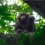 Artwork for Unusual tool-using chimp culture discovered in the Congo