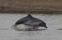 Artwork for Botos: Amazon River Dolphins!