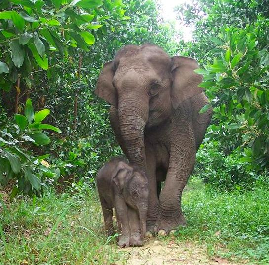 Mongabay Explores Sumatra: Elephants and eternity