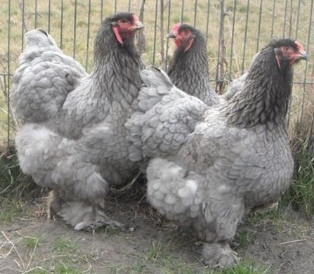 Chick Fest