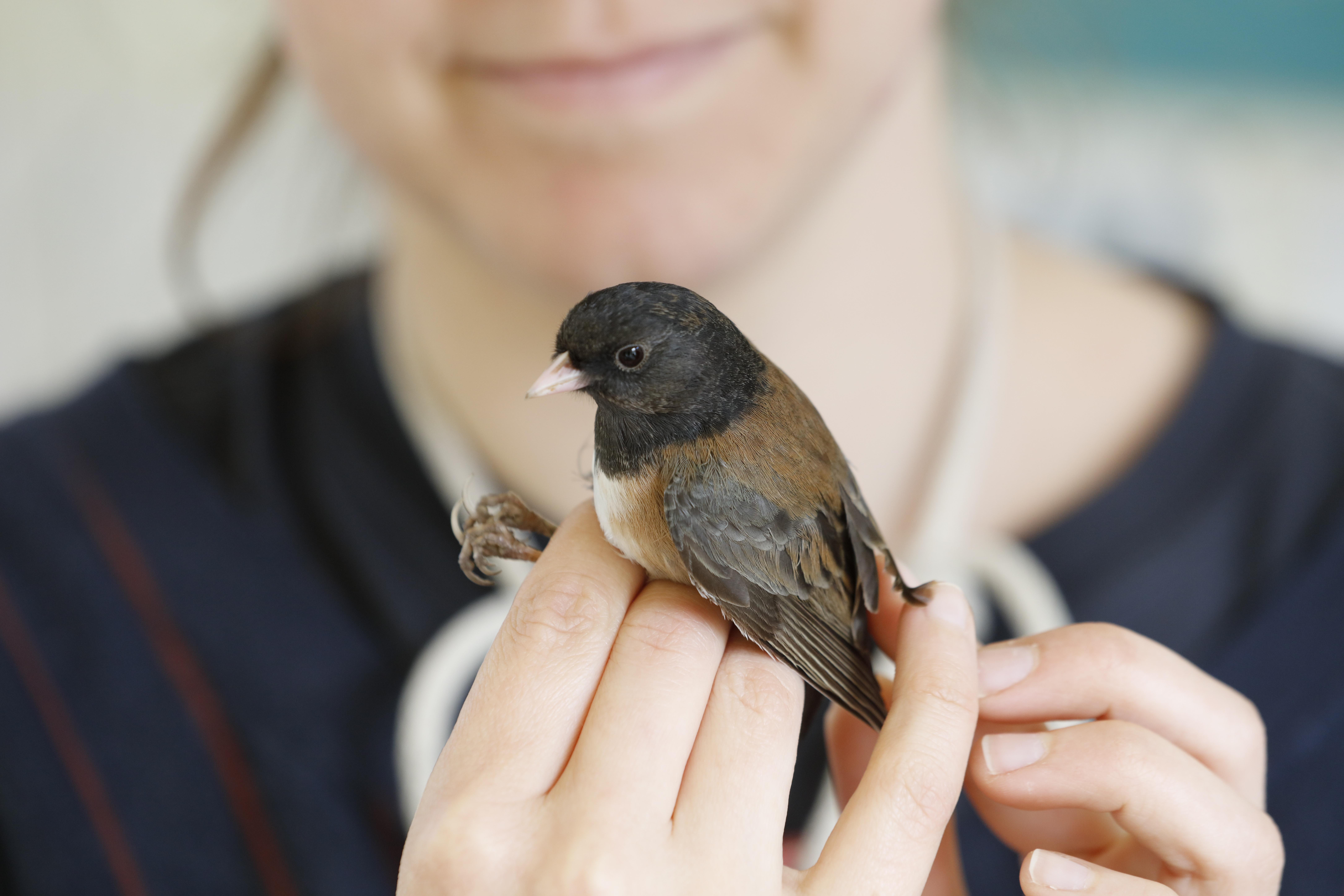 intern holding an Oregon Junco during bird banding procedure