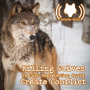 Artwork for Killing Wolves To Curb Depredation Could Create Conflict (512)