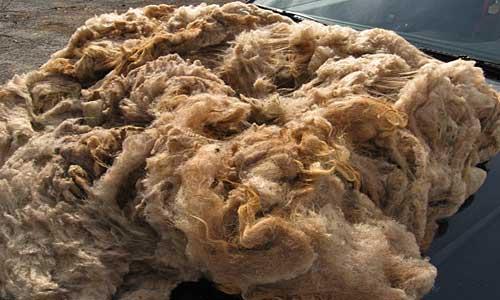 Skirting a Shetland Fleece