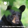 Artwork for BC's Black Bears Have a Human Problem