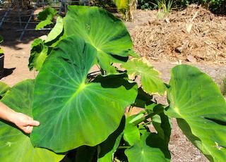 Kalo- An Important Hawaiian Plant