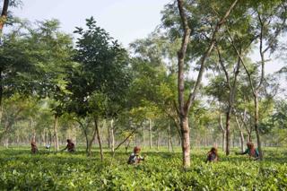 Teatulia: A New Model of Tea Farming in Bangladesh