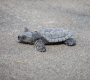 Artwork for How 96 rare sea turtle hatchlings survived a NY City summer
