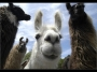 Artwork for TSRP #513: Lassoing Llamas