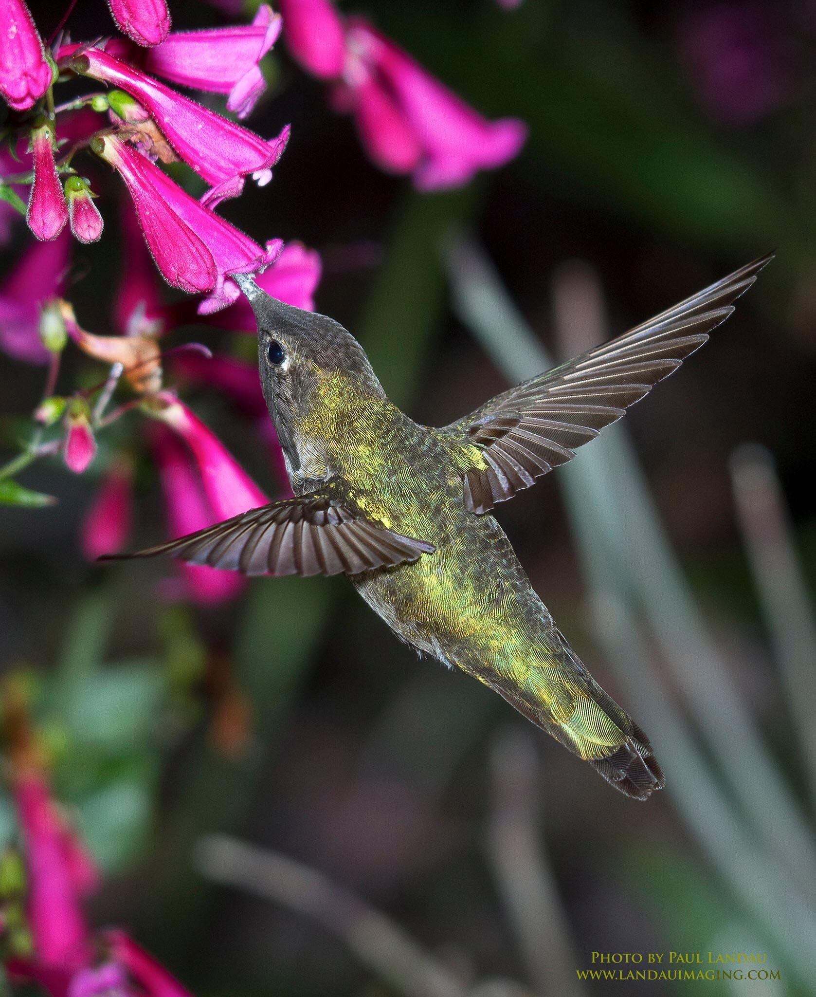 hummingbird by Landau