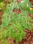 Artwork for Moringa- The Miracle Tree