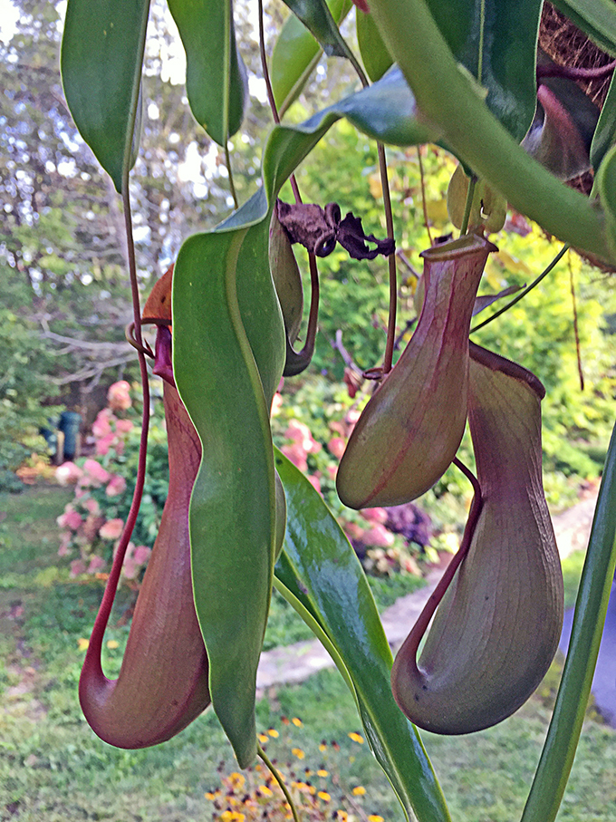Pitcher plants will catch a variety of insects and make good hanging baskets in shady areas.